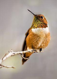 Colibri roux - Rufous Hummingbird (Selasphorus rufus)! earth-song: Rufous Hummingbird by ariseandrejoice