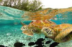 Green Sea Turtles in the waters of Bora Bora, Tahiti are seen swimming and enjoying underwater life. Bora Bora, Tahiti, Beautiful Creatures, Animals Beautiful, Beautiful Ocean, Amazing Nature, Fauna Marina, Le Zoo, Turtle Love