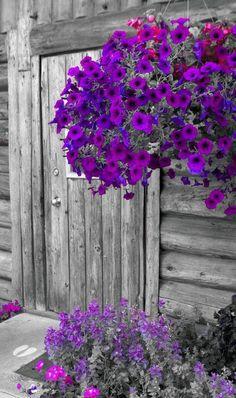Black and White Purple Petunias