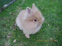 Kuvahaun tulos haulle dwarf rabbit