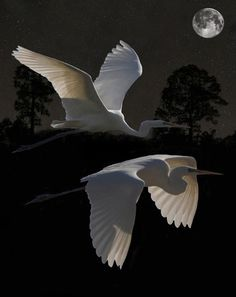 Two Great Egrets In Flight Art Print by Eric Kempson. All prints are professionally printed, packaged, and shipped within 3 - 4 business days. Choose from multiple sizes and hundreds of frame and mat options. Photo Animaliere, Animal Art Projects, Bird Pictures, Wildlife Art, Wild Birds, Animal Paintings, Bird Art, Beautiful Birds, Beautiful Pictures