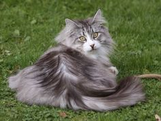 Cats With Cucumbers Beautiful Cats, Animals Beautiful, Cat Whisperer, F2 Savannah Cat, Fancy Cats, Photo Chat, Siberian Cat, Norwegian Forest Cat, Cat Behavior