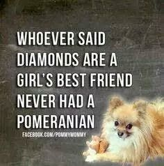 Marvelous Pomeranian Does Your Dog Measure Up and Does It Matter Characteristics. All About Pomeranian Does Your Dog Measure Up and Does It Matter Characteristics. Cute Puppies, Cute Dogs, Dogs And Puppies, Doggies, Dogs 101, I Love Dogs, Puppy Love, Jiff Pom, Animals And Pets