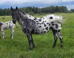 Appaloosa Horse For Sale, Alberta (Canada), Mayerthorpe