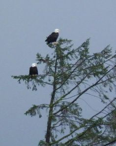 Our bald eagles sitting in their favorite spot near the cliff.