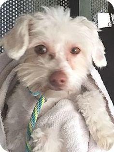 Thousand Oaks, CA - Maltese Mix. Meet Snow White, a dog for adoption. http://www.adoptapet.com/pet/12696393-thousand-oaks-california-maltese-mix