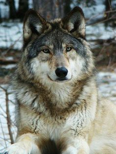Wolf Welcome To Nature
