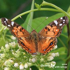American Lady Butterfly Photo : Gardens With Wings