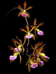 Encyclia navarroi - Flickr - Photo Sharing!