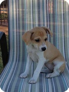 Weatherford, OK - Beagle/Dachshund Mix. Meet Mousitsa a Puppy for Adoption.