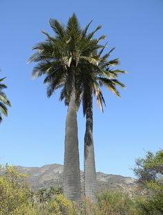 Jubaea chilensis - palma chilena - easy to identify as its trunk is like an elephant's leg