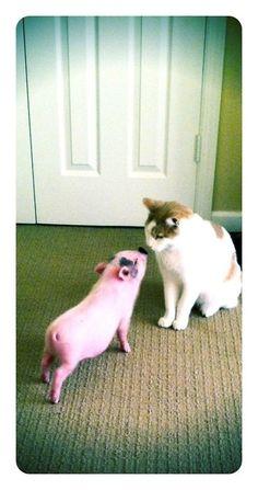 Cat & piglet