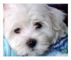 Maltese Puppies is a Maltese Puppy For Sale in Sandston VA