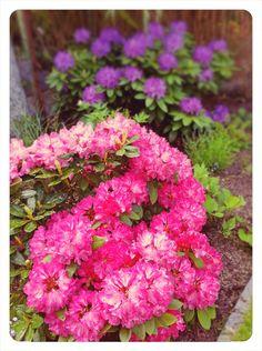 Rhododendron Front Garden Path, Garden Paths, Front Entrances, Different Flowers, Gardens, Plants, Flowers, Outdoor Gardens