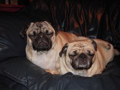 We can watch you with our eyes closed.  (love the back leg on top of the pug)