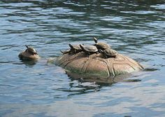 Baby turtles ♡ catching a ride on momma turtle