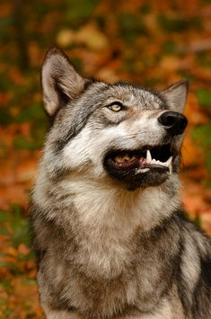 animals beautiful beautiful-wildlife: Smile by Jamie Cournoyer Lakota Wolf Preserve, Columbia, NJ Wasserpflanzen f Wolf Photos, Wolf Pictures, Wolf Spirit, Spirit Animal, Beautiful Creatures, Animals Beautiful, Tier Wolf, Animals And Pets, Cute Animals