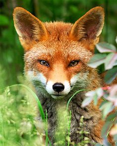 Amazing Animal Pictures, Fox Pictures, Cute Animal Photos, Cute Funny Animals, Cute Baby Animals, Animals And Pets, Pet Fox, Fox Art, Wild Dogs
