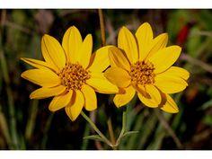 Helianthus occidentalis (Fewleaf sunflower) Native Ohio wildflower