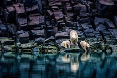 In Honor of International Polar Bear Day, Spectacular Pictures of a Threatened Species. Polar bear and cubs in Svalbard, Norway. Photo by Paul Nicklen Especie Animal, Mundo Animal, Animal Pics, Wildlife Photography, Animal Photography, Nice Photography, National Geographic Wallpaper, Earth Day Pictures, National Geographic Photographers