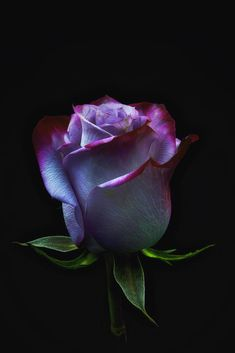 If you are thinking of rose gardening don't let this rumor stop you. While rose gardening can prove to be challenging, once you get the hang of it, it really isn't that bad. Beautiful Rose Flowers, Love Rose, Exotic Flowers, Amazing Flowers, Beautiful Flowers, Purple Flowers, Pink Roses, Black Roses, Colorful Roses