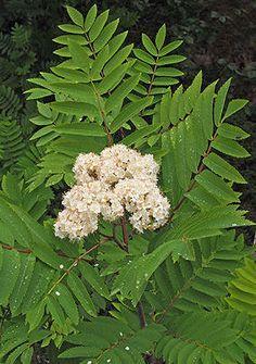 ROGN - Sorbus aucuparia. Fra sorbitol til blåsyregivende amygdalin. 8-10 m høyt tre. Flogrogn; treet har spirt og vokst opp i greinvinkler eller hulrom i andre trær. Både i Norge og sørover i Europa kunne man i tider med matknapphet blande inn tørkede og oppmalte rognebær i brøddeigen.