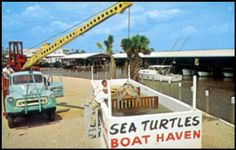 Before there were plans for fancy shops and condos, and before bait shrimp were kept in this holding tank, Boat Haven Marina on U.S. 41 East kept now-protected loggerhead turtles on display. This is the front of an undated postcard that says, 'Visit America's finest small boat marina located on Naples Bay.'