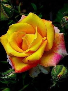 Red-ripped yellow rose