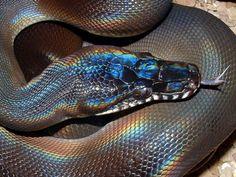 sadesinspiration: holographic snake.