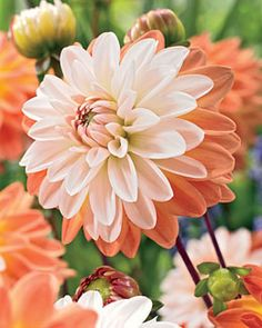 Dahlia 'Coup de Soleil' (available this Spring or order from Breck's sale online). Amazing Flowers, Beautiful Flowers, Colorful Flowers, Fall Plants, Garden Plants, Fleur Orange, Belleza Natural, Zinnias, Dream Garden
