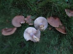 Wood Blewits // See my wild food blog here: http://goingwildforaging.blogspot.co.uk