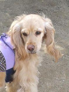 Adı : barbie Irkı : İngiliz Cocker Spani Cinsiyet : Dişi Köpek  Şımarık♥asil♥aşkım♥ benim için hayatın anlamı♥