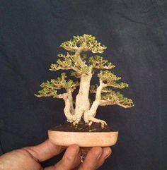 3 trunk bonsai Bougainvillea Bonsai, Bonsai Plants, Bonsai Garden, Minis, Micro Garden, Mame Bonsai, Bonsai Styles, Moss Garden, Miniature Trees