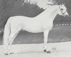 *Silver Drift-imported from England. Pure Crabet breeding.