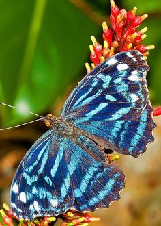 Blue Wave Butterfly by Millard H. Sharp