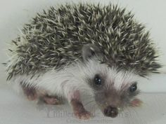 This hedgehog is named Kanye. The hedgehogs most of us have seen pictures of and want to adopt as pets are usually a variety of African Pygmy Hedgehog. Just like this little guy. Cute Little Animals, Adorable Animals, Baby Animals, Pygmy Hedgehog, Baby Hedgehog, Weird Looking Animals, Hedge Hog, Sonic And Shadow, Cute Animal Pictures