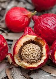 Quandong - wild, or desert, peach is the famous bush tucker fruit. High in vitamin C. Common to arid areas. Weird Fruit, Strange Fruit, Fruit And Veg, Fruits And Vegetables, Superfood, Native Foods, Pie Crumble, Australian Food, Australian Desert