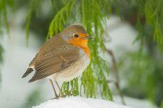 Emsland Erithacus rubecula Fauna Fliegenschnäpper  Muscicapidae Rotkehlchen schnee Singvogel Vogel Wildlife winter