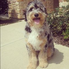 Blue Merle aussiedoodle - awesomely smart and adorable dog!