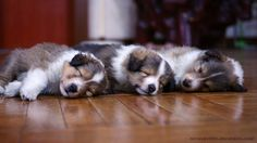 sheltie puppy wallpaper 1080p by wowsheltie, via Flickr