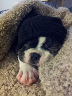 Know you are in Canada When the Boston Terrier Sleeps with a Winter Hat! Boston Terrier Love, Boston Terriers, Terrier Dogs, Dog Wrap, Cute Dog Collars, Cute Animal Photos, Dog Rules, Dog Friends, Puppy Love