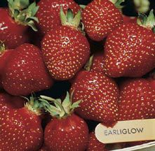 Earliglow Junebearing Strawberry | Jung Garden and Flower Seed Company. Wonderful strawberry flavor is this variety's trademark. One of the best for early picking, bearing medium to large deep red fruits with uniform red interior color. Berries hold size longer than most early varieties. Vigorous plants produce ample runners. Good disease resistance. Excellent for jams or freezing. 25 for $10.95