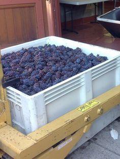Adelsheim Vineyard Pinot Gris from Calkins Lane. #oregonwine #harvest