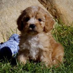 Maggie Cavoodle One of 2017 Charity Calendar Dog Model