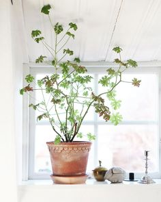 Pin on Green Living - Houseplants Potted Plants, Indoor Plants, Indoor Trees, Big Vases, Small Trees, Geraniums, Home Decor Accessories, Houseplants, Planting Flowers