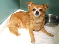 Manhattan Center My name is MABLE. My Animal ID # is A1014409. I am a spayed female brown and white chihuahua lh mix. The shelter thinks I am about 12 YEARS old. I came in the shelter as a OWNER SUR on 09/17/2014 from NY 10458, owner surrender reason stated was OWNER SICK.  KILLED