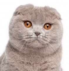 Fluffy Gray Beautiful Adult Cat, Breed Scottish-fold, Very Close ...