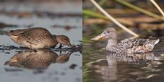 The mystery duck has a much smaller bill than this female Northern Shoveler (at right), photographed by Chris Wood.