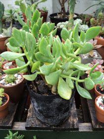 PLANTAS MORENAL: CRASAS Cactus, Flowers, Bonsai, Plants, Echeveria