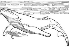 Blue Whale And Her Baby Coloring Page : Kids Play Color Whale Coloring Pages, Fish Coloring Page, Colouring Pages, Whale Art, Blue Whale Drawing, Borboleta Tattoo, Scientific Drawing, Whale Painting, Whale Illustration